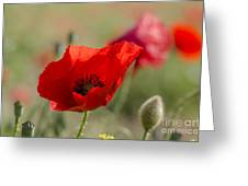 Poppies In Field In Spring Greeting Card