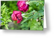 Red Rose Bud Greeting Card