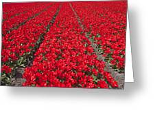 Red Tulip Fields Greeting Card