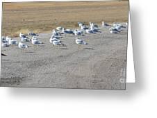 Ring Billed Gulls  Greeting Card