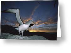 Salvins Albatross At Sunset Greeting Card