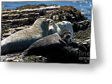 Sea Lions At Sea Lion Cove State Marine Conservation Area Greeting Card