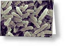 Sem Of Serratia Liquefaciens Greeting Card
