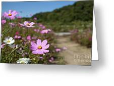 Sensation Cosmos Bipinnatus Fully Bloomed Colorful Cosmos On M Greeting Card