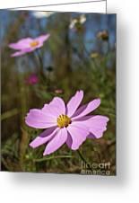 Sensation Cosmos Bipinnatus Fully Bloomed Pink Cosmos At Garde Greeting Card