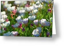 Showy Evening Primrose Greeting Card
