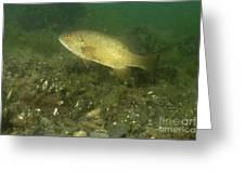 Smallmouth Bass Protecting Eggs Greeting Card