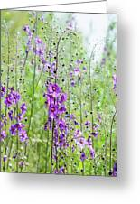 Verbascum Phoeniceum In The Meadow Greeting Card