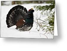 Western Capercaillie Greeting Card