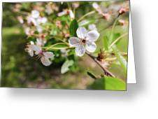 White Cherry Flower Greeting Card