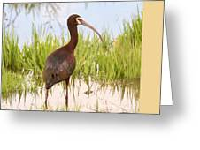 White Faced Ibis Greeting Card