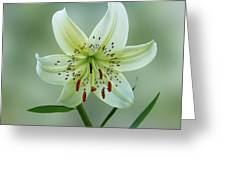 White Tiger Lily Greeting Card