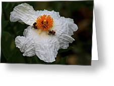 White Poppy And Bee Greeting Card