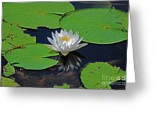 2- White Water Lily Greeting Card