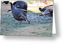 Wild Turkeys. Greeting Card