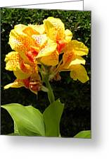 Yellow Canna Lily Greeting Card