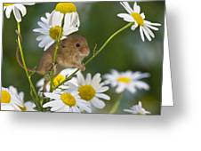 Young Eurasian Harvest Mouse Greeting Card