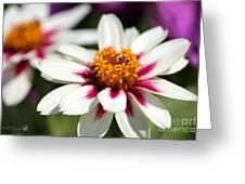 Zinnia Named Zahara Starlight Rose Greeting Card