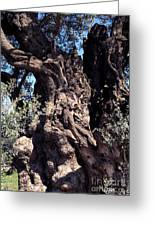 2000 Year Old Olive Tree Greeting Card