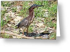 2014-baby Green Heron Greeting Card