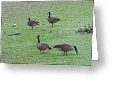 2016-canadian Geese And Babies Greeting Card