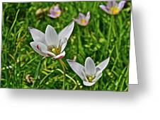 2016 Early May Meadow Garden Lady Jane Tulip Greeting Card