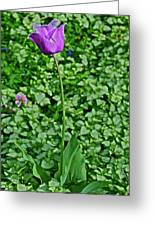 2016 Mid May  Exotic Purple Tulip Greeting Card