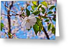 2016 Olbrich Cherry Blossoms 2 Greeting Card