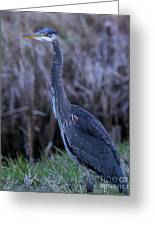 2018_3_09  Blue Heron-5652 Greeting Card