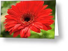 Red Gerber Greeting Card