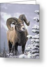 25084, Bighorn Sheep, Winter, Jasper Greeting Card