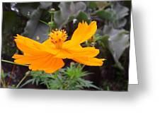 Australia - Yellow Cosmos Carpet Flower Greeting Card