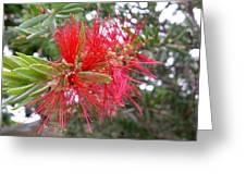 Australia - Red Flower Of The Callistemon Greeting Card