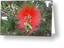 Australia - Callistemon Red Flower Greeting Card