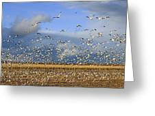 A Panoramic Of Thousands Of Migrating Greeting Card