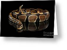Ball Or Royal Python Snake On Isolated Black Background Greeting Card