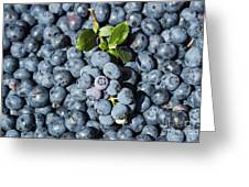 Blueberry Harvest Greeting Card
