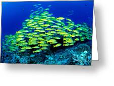 Bluestripe Snapper Greeting Card