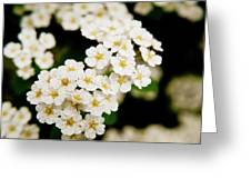 Bridal Veil Spirea Greeting Card