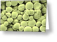 Cassava Starch Granules Sem Greeting Card
