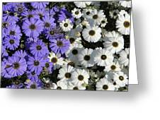 Cineraria Greeting Card
