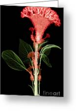 Cockscombs Flower, X-ray Greeting Card