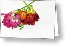 Colorful Freesia Greeting Card