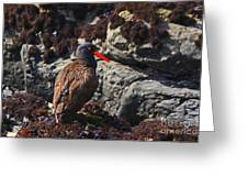 Black Oystercatcher Greeting Card