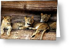 3 Cubs Greeting Card