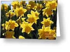 Daffodils In The Sunshine Greeting Card