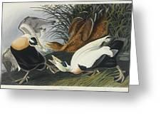 Eider Duck Greeting Card