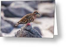 Galapagos Dove In Espanola Island. Greeting Card