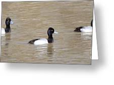 3 Greater Scaup  4060 Greeting Card