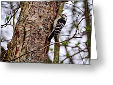 Lesser Spotted Woodpecker Greeting Card